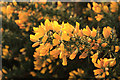TA0139 : Gorse flowers on the westwood by Peter Church