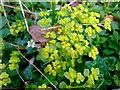 SM9228 : Opposite-leaved golden saxifrage (Chrysosplenium oppositifolium) by ceridwen