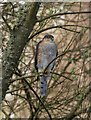 SX9879 : Sparrowhawk, Dawlish Warren by Derek Harper