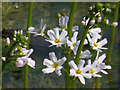 TL5162 : Water Violet (Hottonia palustris) by Keith Edkins