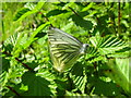 ST5410 : Green-veined white butterfly (Pieris napi) by Sarah Smith