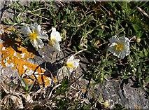 SX9456 : White Rock-Rose near the Old Redoubt by Derek Harper