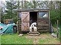 NY3239 : Orphan lambs alongside Cumbria Way by Roger Smith