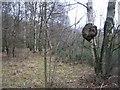 SP8506 : Unusual growth on a tree by Sandy B
