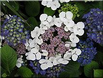 NJ9304 : Hydrangeas in the Winter Gardens by Carol Walker