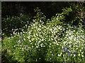 TQ1683 : Stitchwort in Perivale Wood by David Hawgood
