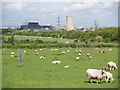 NZ5619 : Sheep pasture by Eston Road by Stephen McCulloch