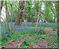 TG2325 : It's Bluebell Time by Evelyn Simak