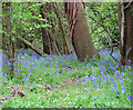 TG2325 : Bluebells in King's Covert by Evelyn Simak