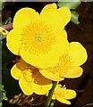 NJ3160 : Marsh Marigold (Caltha palustris) by Anne Burgess