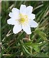 NJ5620 : Wood Anemone (Anemone nemorosa) by Anne Burgess
