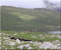NH0077 : Red deer by Lochan Fèith Mhic'-ilean by Russel Wills