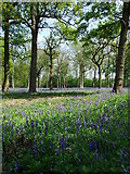 TG0705 : Carpet of Bluebells by Keith Evans