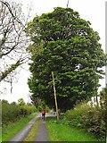 H1812 : Lane and tree at Killaphort by Oliver Dixon