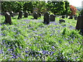 NT9437 : Bluebells in the churchyard by John Tustin