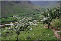 NY1807 : Blossom on the descent to Wasdale Head by N Chadwick