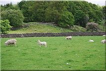 NY1700 : Sheep grazing near Boot by N Chadwick