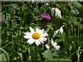SK5636 : Ox-eye daisy and Knapweed by Alan Murray-Rust