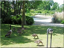 TQ1977 : Canada Geese with goslings in the Park at the National Archives, Kew by Chris Reynolds