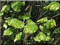 NS4373 : Leaf galls on silver birch by Lairich Rig