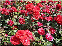 TQ2882 : Roses in Queen Mary's Gardens, Regent's Park by pam fray