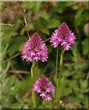 SX9066 : Pyramidal orchids, former Barton tip by Derek Harper