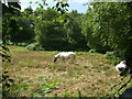 TG1141 : Ponies/horses grazing the cleared areas by Ashley Dace