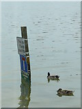 SU8003 : Bosham Harbour - Nice for Ducks (2) by Peter Trimming
