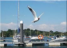 SZ3394 : Black-headed gull in flight by Andy F