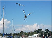 SZ3394 : Black-headed gulls landing, Lymington by Andy F