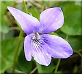 NF7636 : Common Dog Violet (Viola riviniana) by Anne Burgess
