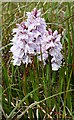 NF8138 : Common Spotted Orchid (Dactylorhiza fuchsii) by Anne Burgess
