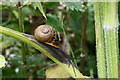 SW8452 : Snail on hogweed by Fred James