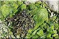 HU5799 : Seaweeds, Heogland by Mike Pennington