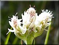 NF8139 : Mountain Everlasting (Antennaria dioica) by Anne Burgess