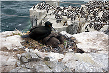 NU2135 : Shag with two chicks in the nest, Inner Farne by Andy F