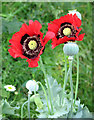 TG3003 : Oriental poppies gone wild by Evelyn Simak