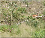 SJ9775 : Stag at rest in woods at Lamaload Reservoir by Peter Barr