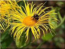 SX7962 : Bee on Inula, Dartington by Derek Harper