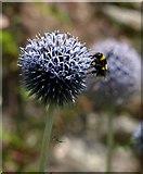 SX7962 : Bee on Echinops, Dartington by Derek Harper