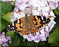 TA0322 : Painted Lady on Hydrangea by David Wright