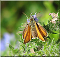 TL9491 : Small Skipper descending on a flowering plant by Evelyn Simak