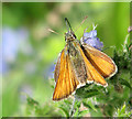 TL9491 : Small Skipper feeding on a flowering plant by Evelyn Simak