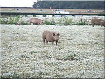 TL9167 : Pigs In daisies by Keith Evans