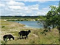 SP9214 : Sheep Grazing at College Lake by Chris Reynolds