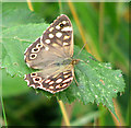 TM2099 : Speckled Wood Butterfly (Pararge aegeria) by Evelyn Simak