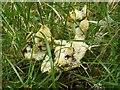NS3681 : A slime mould - Fuligo septica var. flava by Lairich Rig