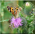 TM2684 : Painted Lady butterfly (Vanessa cardui) by Evelyn Simak