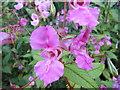 NZ2153 : Himalayan Balsam by brian clark