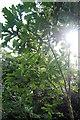 NZ2064 : Little oak tree, Scotswood Community Garden, Newcastle upon Tyne by hayley green